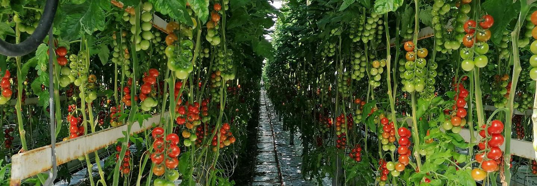 Elleholmstomat odlar Sweeterno - En god, välsmakande och hållbart producerad tomat