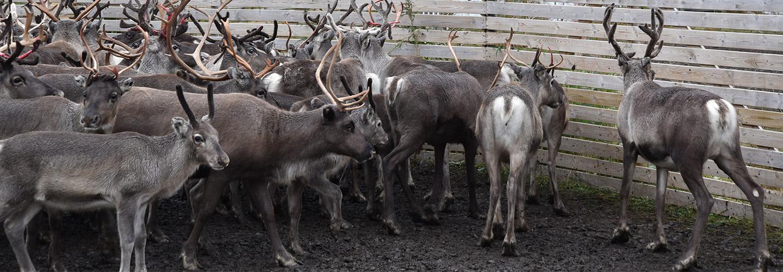 Sarv - svenskt viltkött när det är som bäst