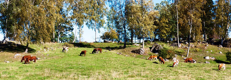 Svensk röd och vit boskap