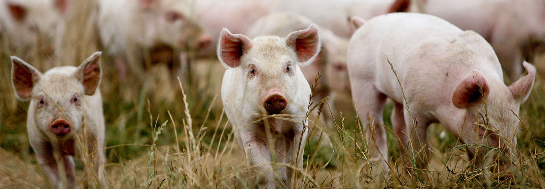 Dingley Dell - Glada grisar från Storbritannien