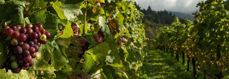 Ekologiskt vin och hållbar odling