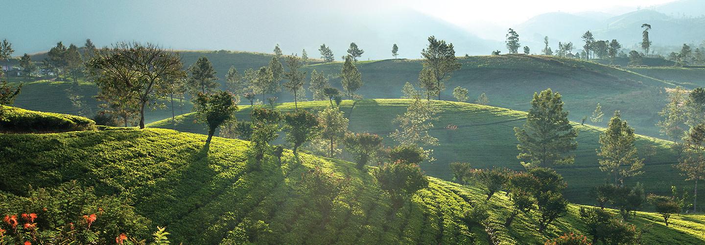 Förädling av grönt te och oolongte