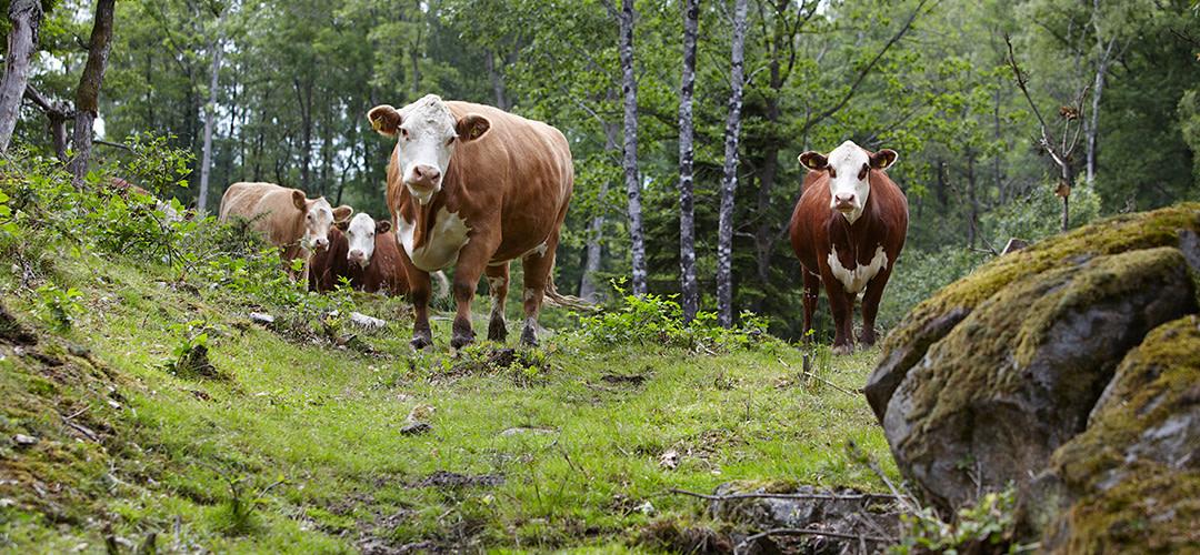 Kraftig ökning av svenskt kött hos Martin & Servera
