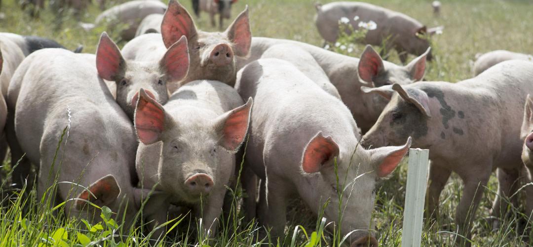 Svinpest i Kina gör fläskkött dyrare