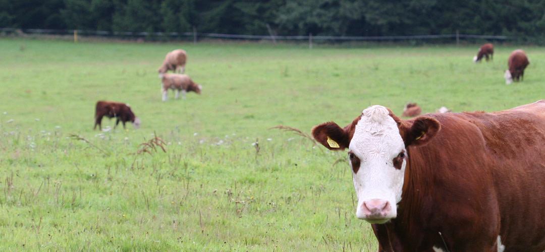 Vi ökar inköpen av svenskt nötkött med 65 ton